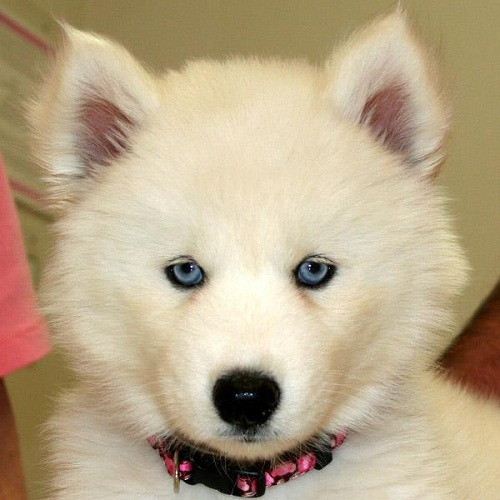 Best Puppy Blue Eye Adorable Dog - white-siberian-husky-with-blue-eyes  Gallery_551911  .jpg