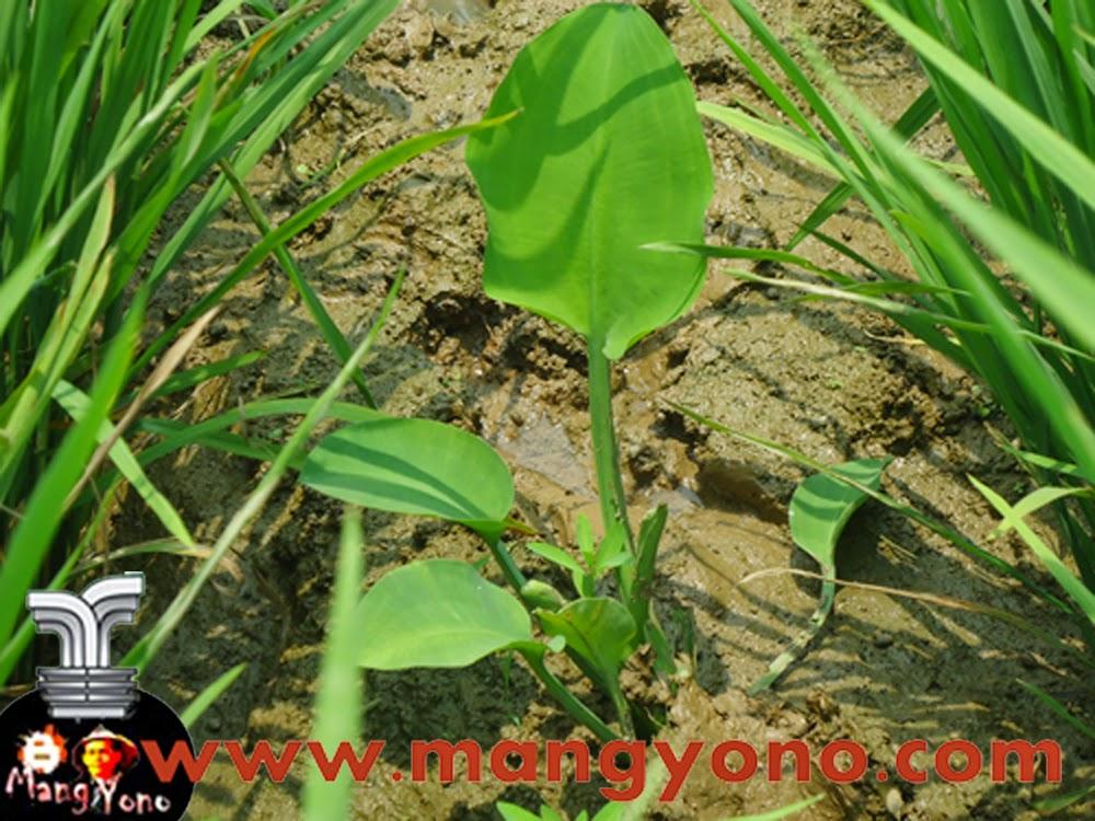 Bagi yang belum tau tanaman genjer yang ditanam disawah potonya seperti ini