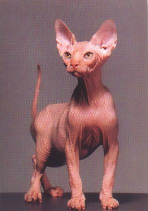 cats hairless cat breeds