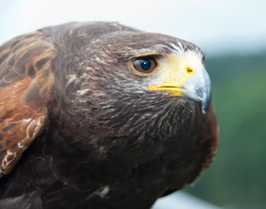 Falke auf der Adlerwarte Berlebeck, Detmold