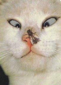 funny picture cat with bee on her nose