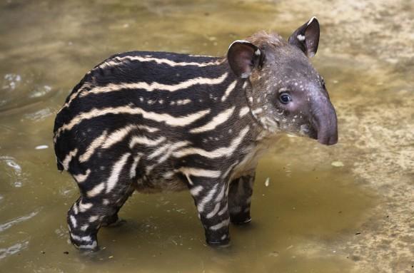 brazilian tapir animal wildlife