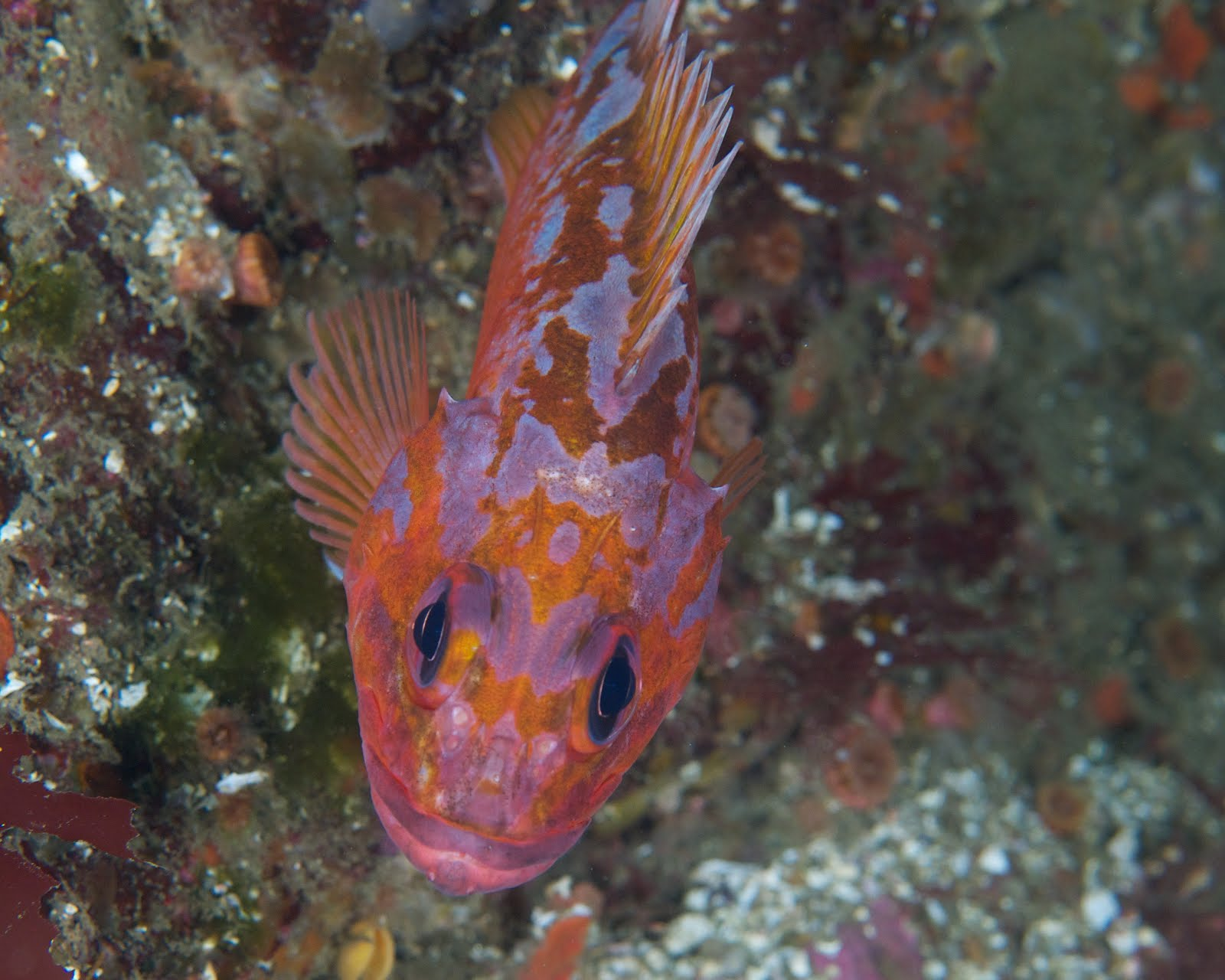 under pressure world: Rosy Rockfish- Carmel, CA