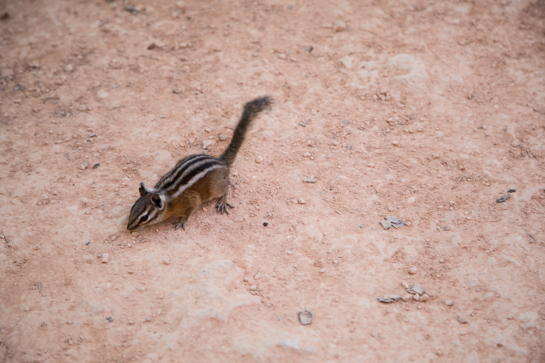 Bryce Canyon Utah Photography Chipmunk