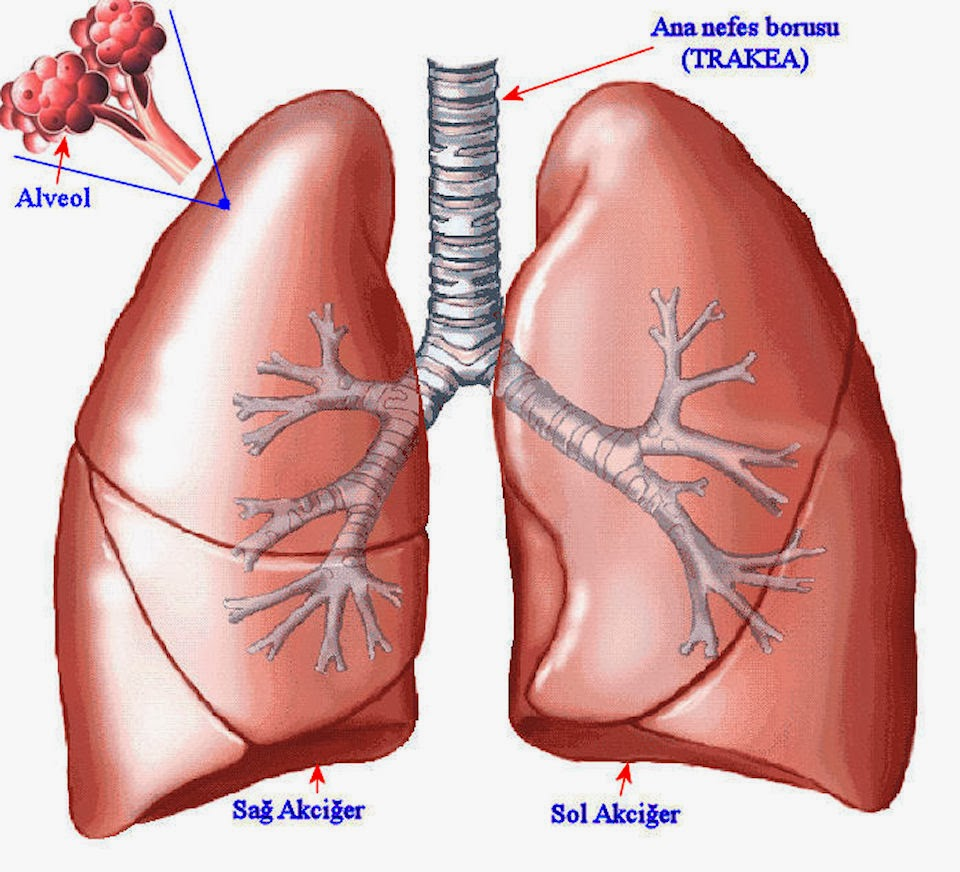 Physiotherapy And Anatomy Early Cystic Fibrosis Lung Disease Role