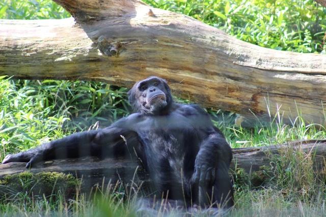 chimp whipsnade
