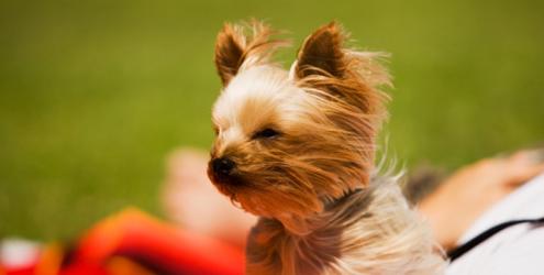 adopt a pet  Queda de cabelo em Cães