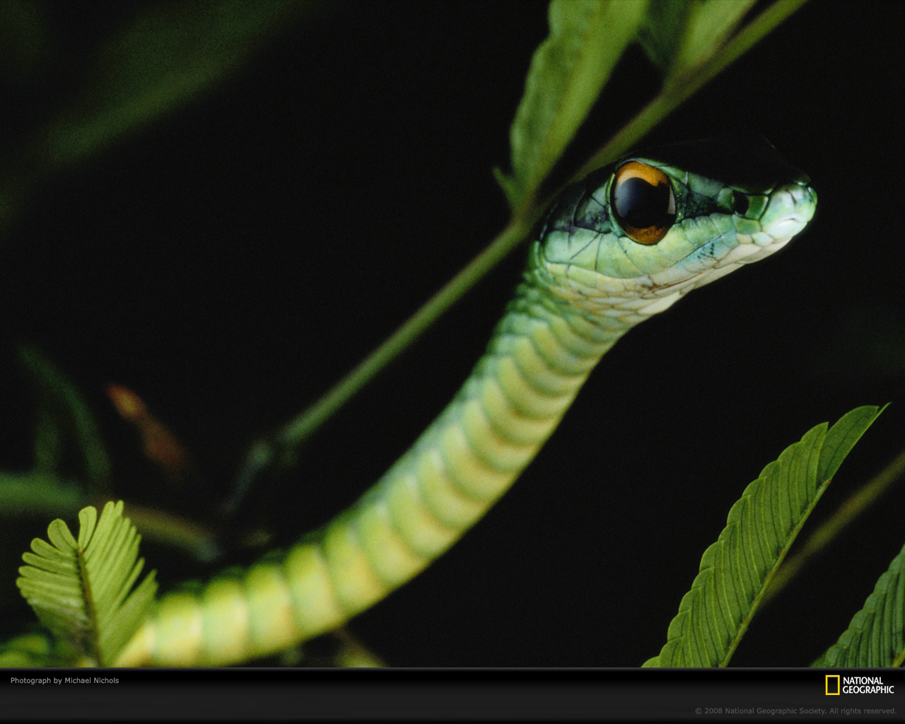 hd wallpaper of green snake