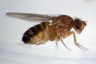 On Kijiji PEI: the common fruit fly or vinegar fly
