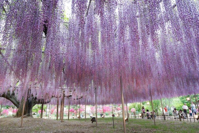 Una caminata colorida el t nel wisteria en los jardines for Jardines kawachi fuji