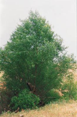 sauce negro Salix nigra