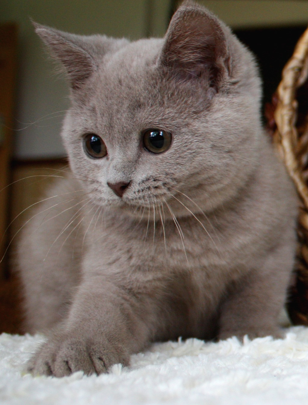 Blue Tabby Munchkin Cat