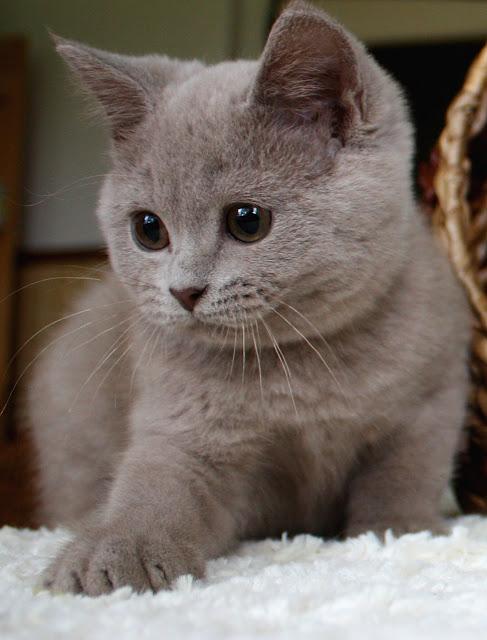 White Cat Black Colourpoint