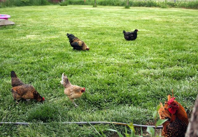 Bantam chicken hen rooster