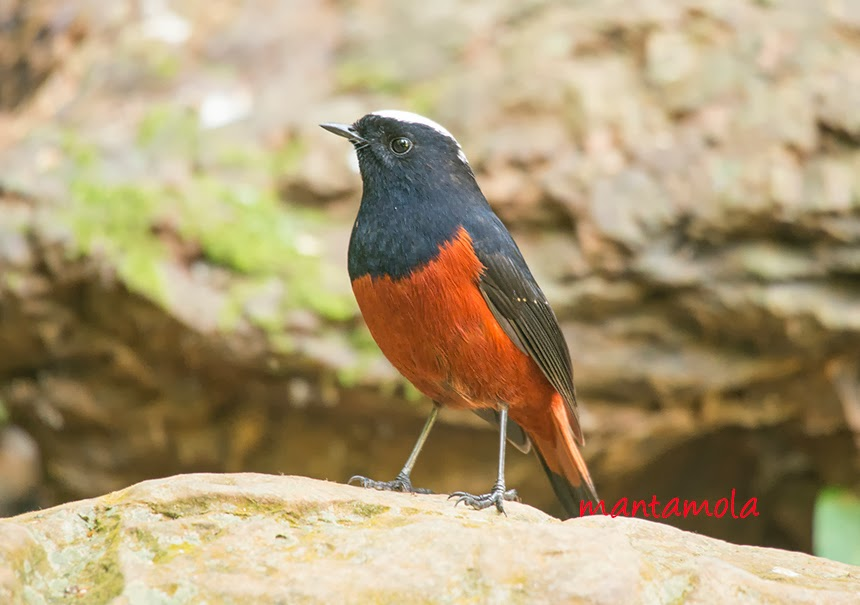 White Capped River Redstart