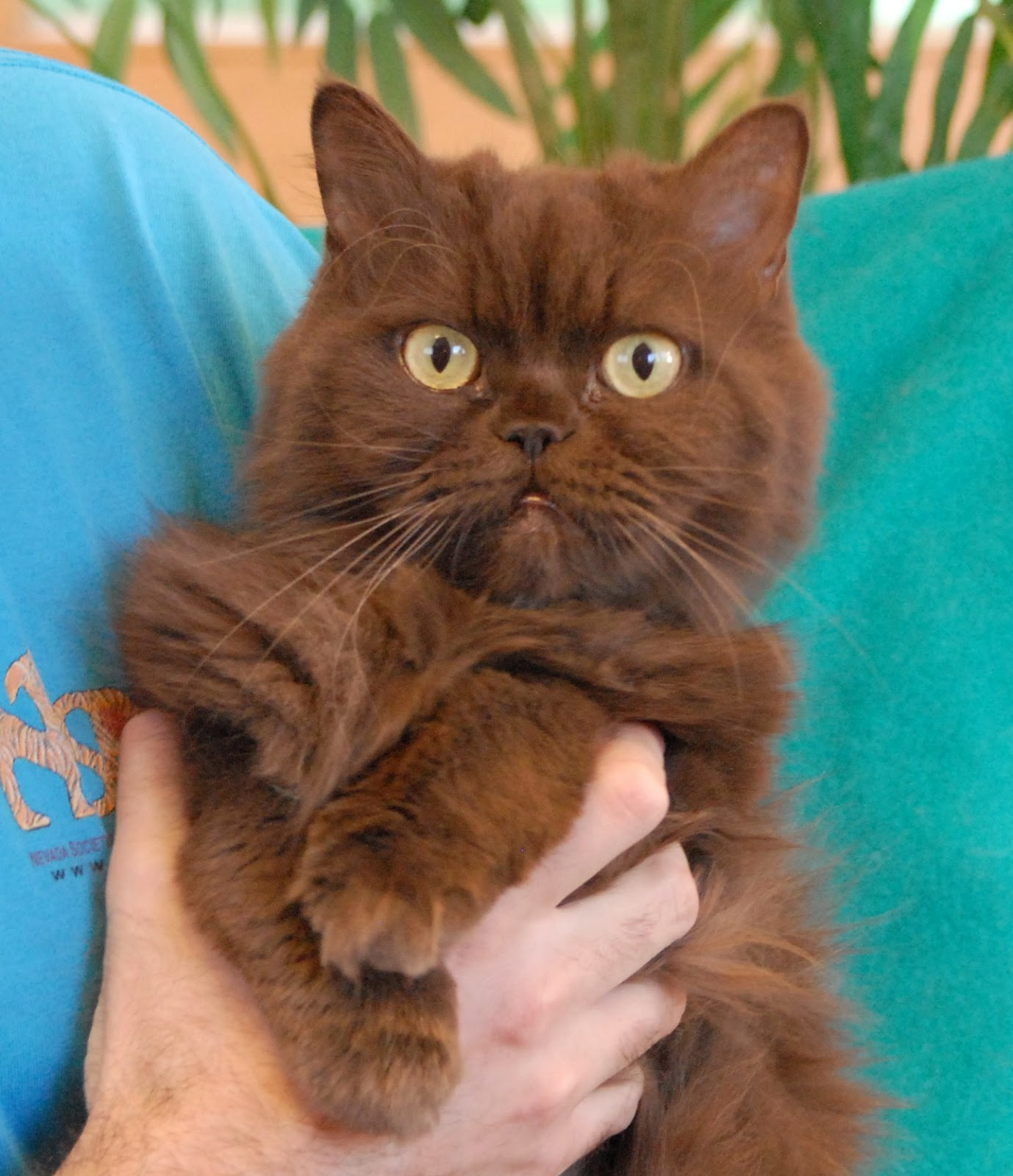 Nevada SPCA Animal Rescue Rhajji a chocolate Persian cat for