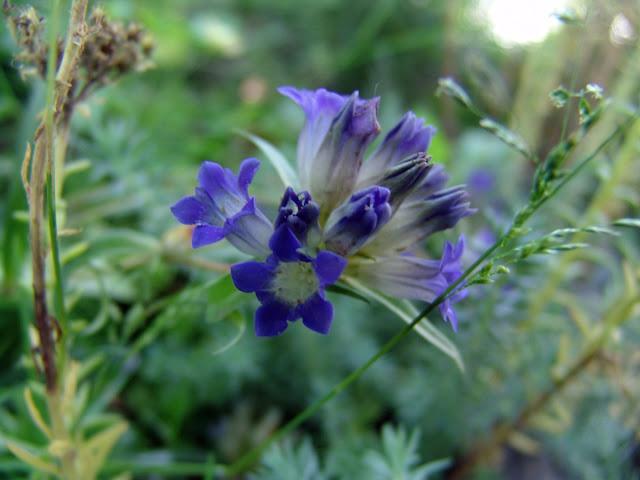 Fiore-blu-del-fiore-del-fiore-blu-1260256978_93.jpg (1200×900)