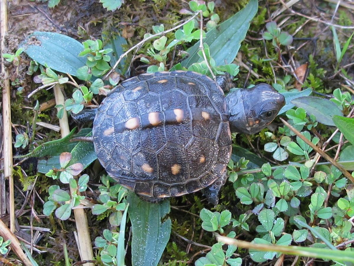 Blue baby turtles - photo#8