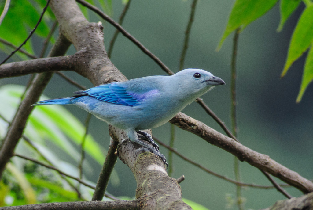 Blue Gray Tanager Range Blue-gray Tanager