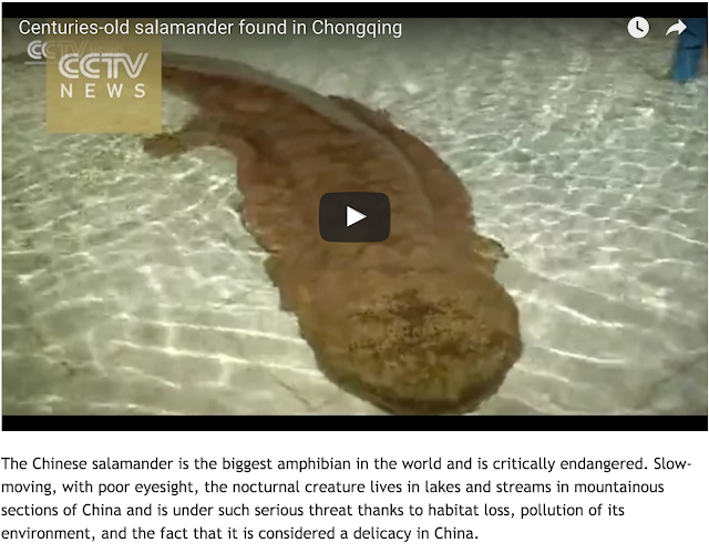 http://news.discovery.com/animals/endangered-species/rare-giant-salamander-found-in-cave-in-china-151215.htm?utm_source=facebook.com&utm_medium=social&utm_campaign=DNewsSocial