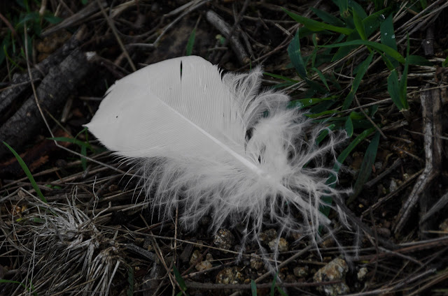 sulphur-crested cockatoo feather