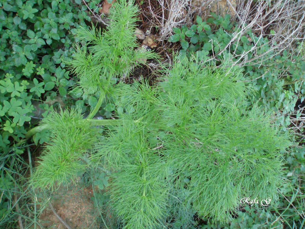 Akasha Tarotista Hinojo, planta contra la indigestión
