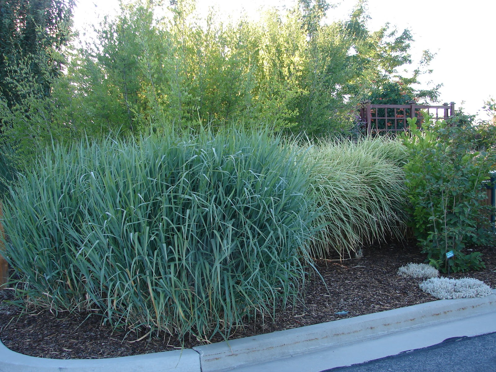 New utah gardener panicum virgatum 39 dallas blues 39 a for Blue ornamental grass varieties