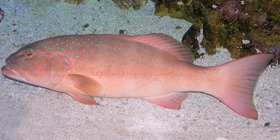 Plectropomus maculatus