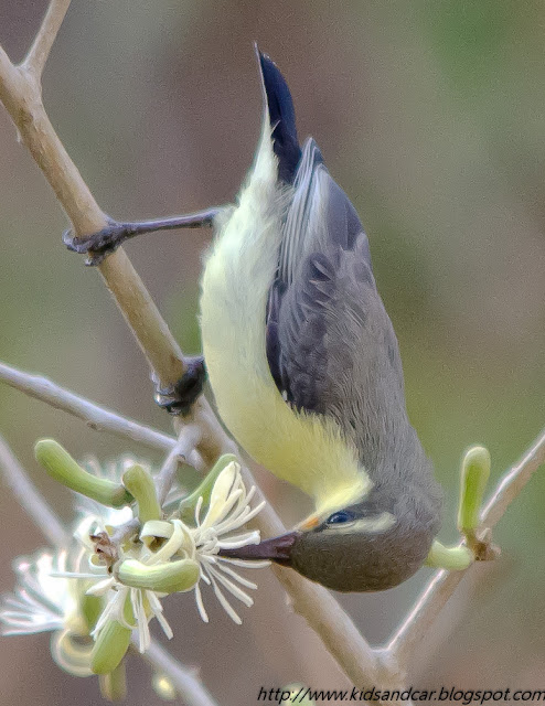 sunbird taking nectar from flowers