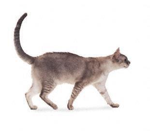 burmilla cat breed info pets animal domestic