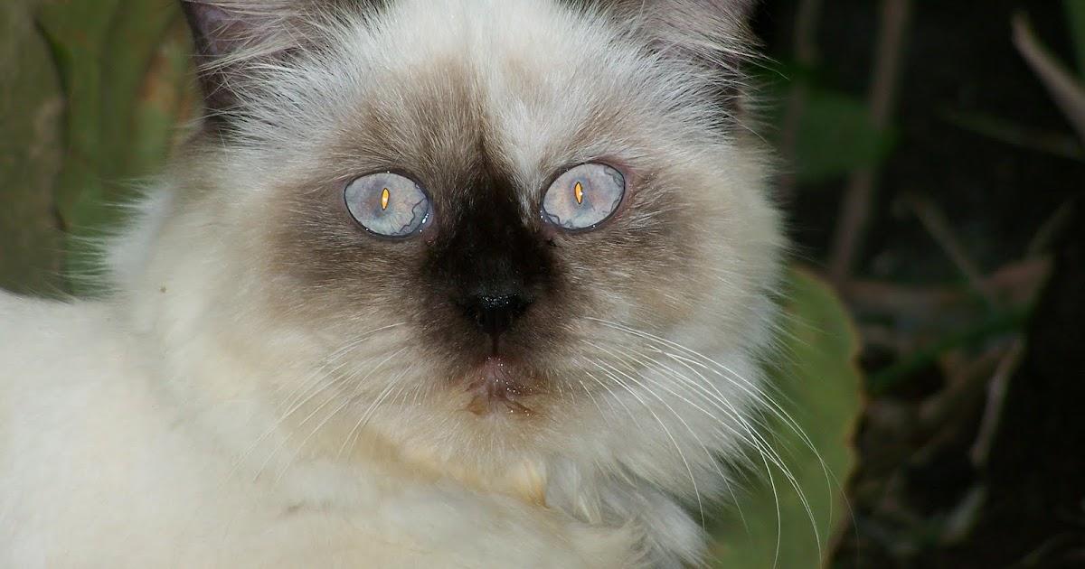 Kucing Persia Jual Kucing Himalaya