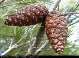 La Glándula Pineal... Pino_fruto