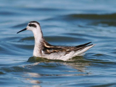 Oregon sea birds: Red-necked Phalarope