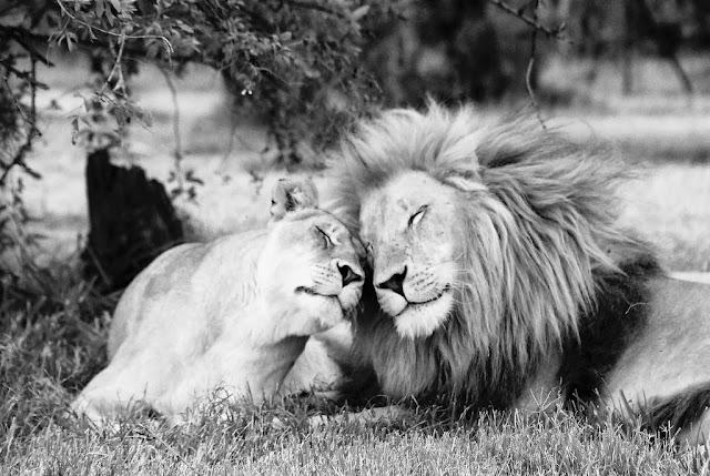 чёрно-белое фото львов