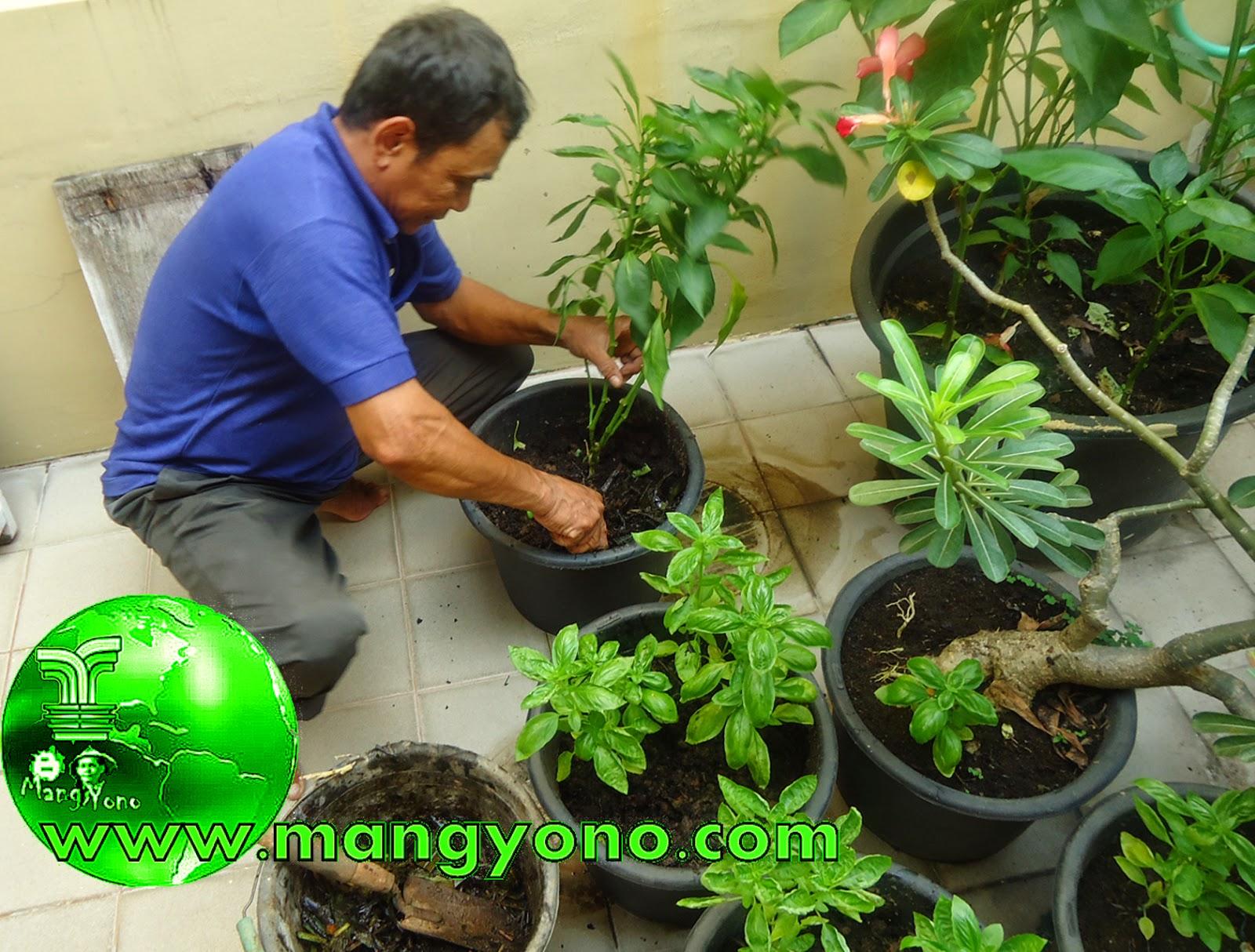 Mas Sukri sedang menaburkan pupuk organik disekitar tanaman yang ditanam di pot, lalu menimbun dengan tanah. Poto jepretan Admin. Tgl. 15/11/2014