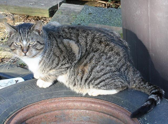 Star Cat the semi-feral tabby tux cat