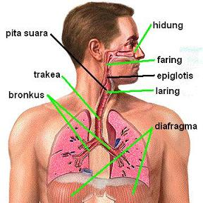 gambar Sistem pernapasan manusia