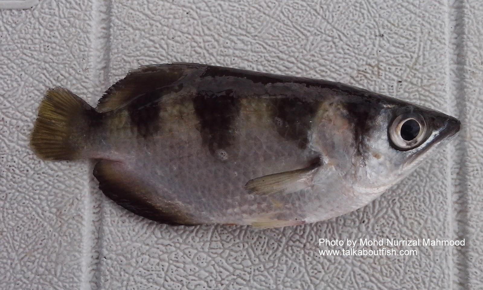 Freshwater fish china - Common Name Asian Redtail Catfish Scientific Name Hemibagrus Nemurus Valenciennes 1840 Chinese Name B I X G Ng Local Malay Name Ikan Baung