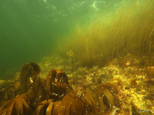 Морская капуста у поверхности Белое море