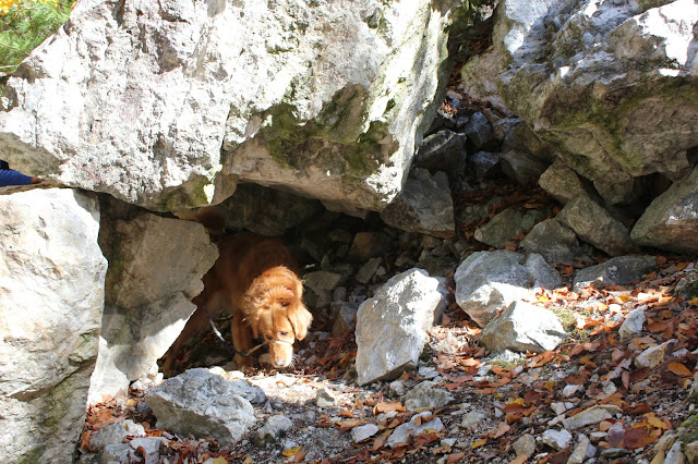 Miley golden retriever exploring the Pequot Trails to Lantern Hill #Walktober The Last Green Valley