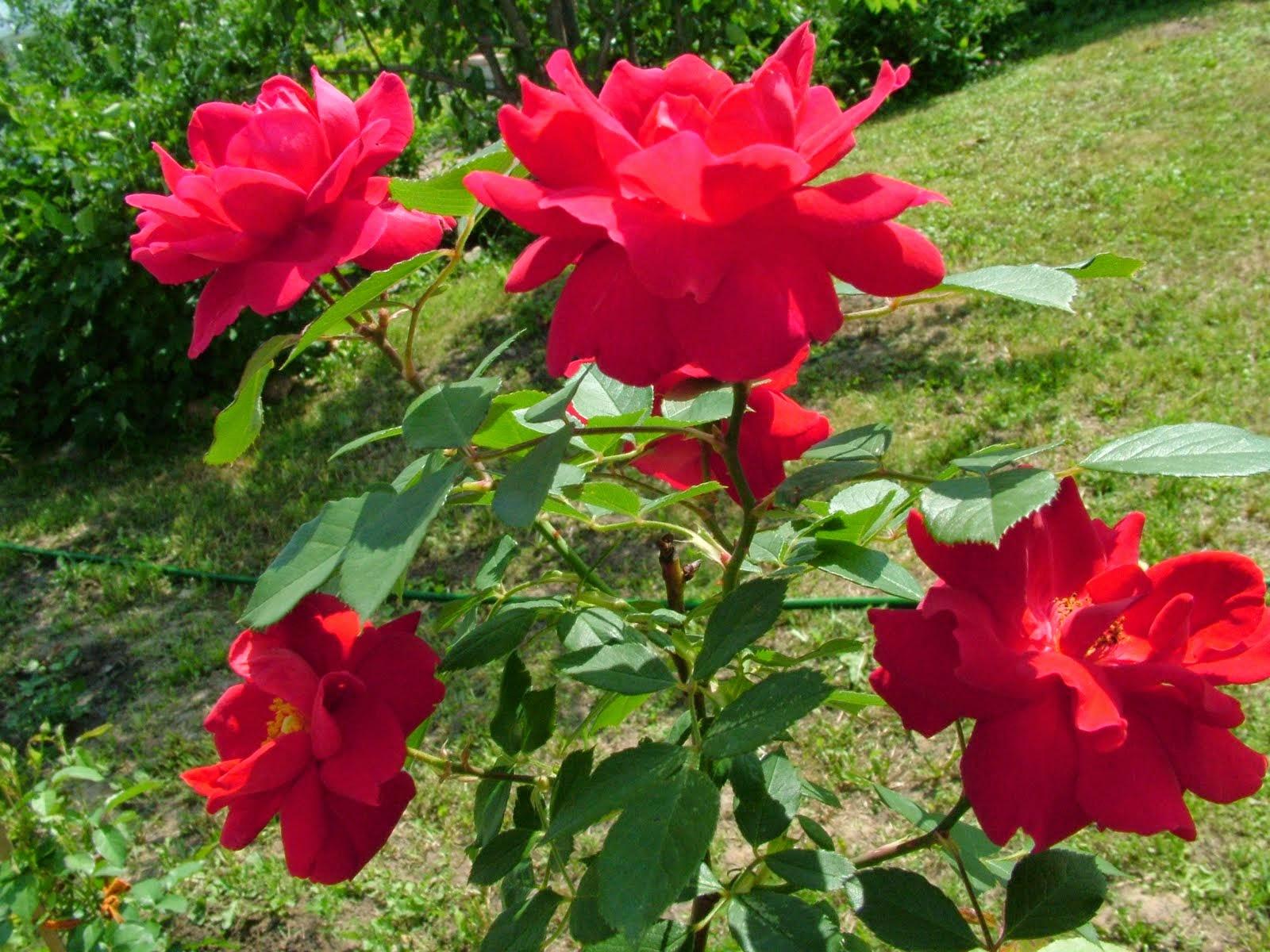 صور ورود رائعة صور زهور خلابة مع أجمل صور ورد في العالم