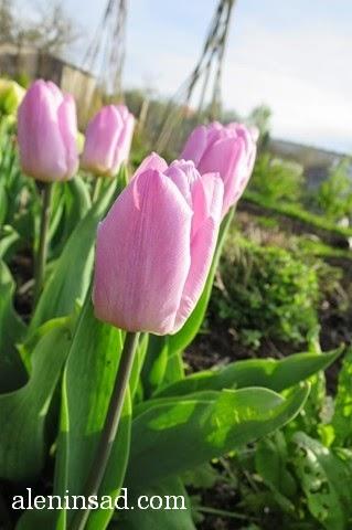 Candy prince, сорта тюльпанов, тюльпан, аленин сад, весенние луковичные
