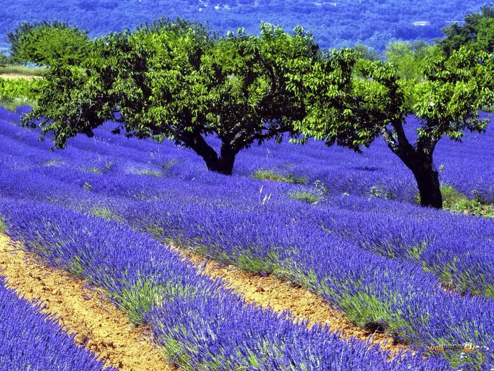xem hình nền hoa oải hương đẹp nhất