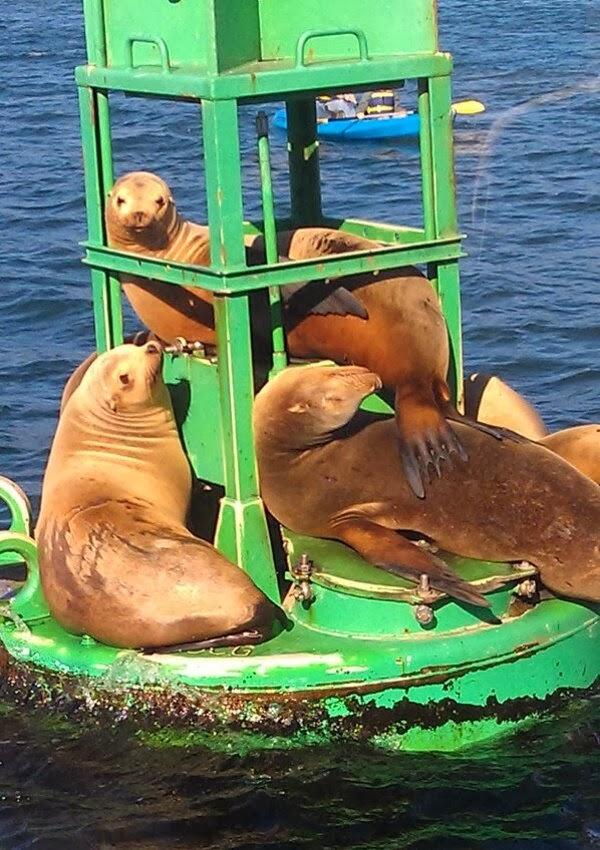 Funny animals of the week - 22 November 2013 (35 pics), sea lions relaxing