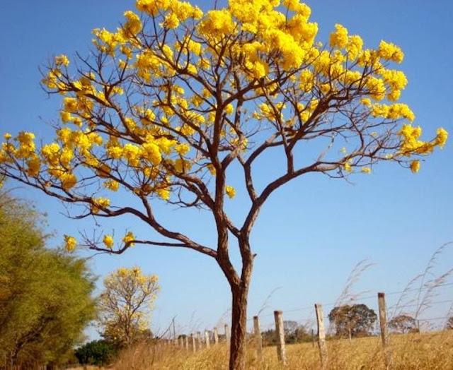 Na estação seca do Cerrado os ipês amarelos estão por toda parte no Cerrado no Centro Oeste