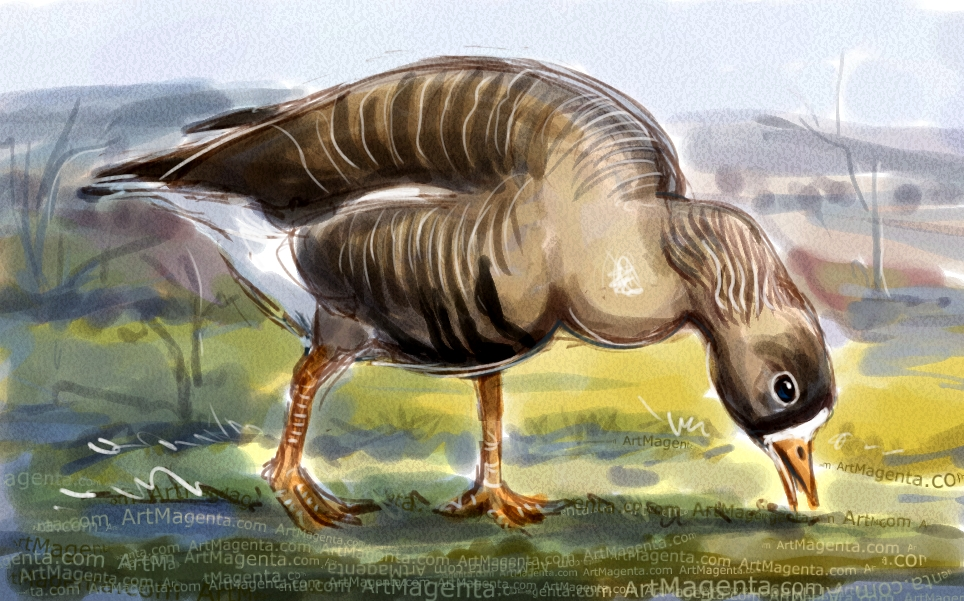 Lesser white-fronted goose sketch painting. Bird art drawing by illustrator Artmagenta