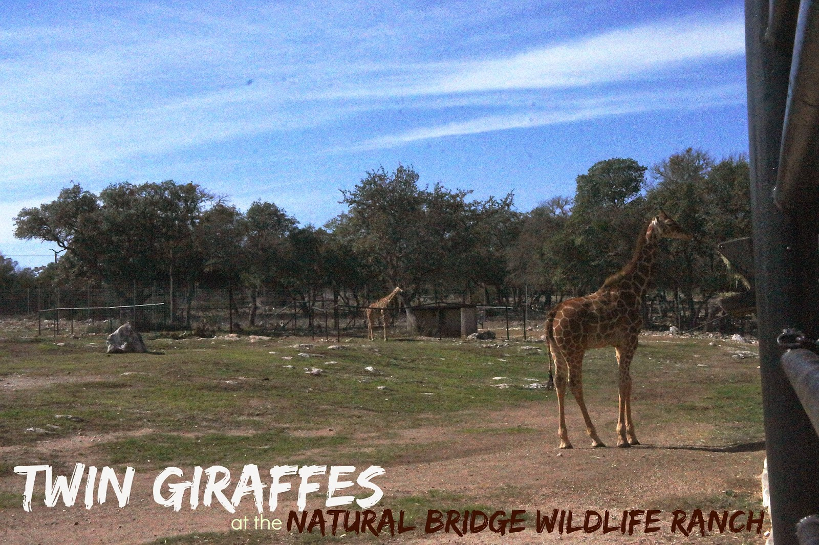 Only living twin giraffes in the US at the Natural Bridge Wildlife Ranch in San Antonio, Texas