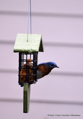 Bluebird at suet feeder