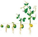 Pada perkecambahan ini terjadi pertumbuhan memanjang dari epikotil