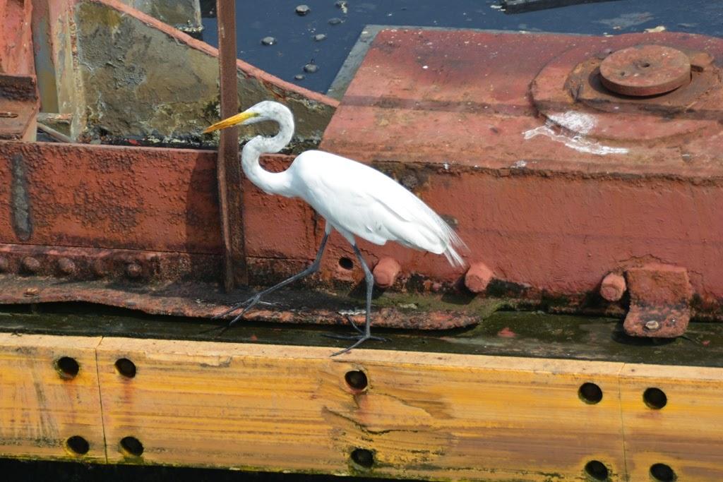 Panama Canal Miraflores Locks white heron